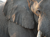 Close Up of Partial Face  African Elephant (Loxodonta Africana)  Etosha National Park  Namibia