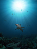 Caribbean Reef Shark (Carcharhinus Perezii) with Sun Seen from Below  Roatan  Bay Islands  Honduras