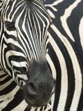 Burchell's (Plains) Zebra (Equus Burchelli), Mhkuze Game Reserve, Kwazulu Natal, South Africa Papier Photo par Ann & Steve Toon