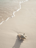 Conch Shell Washed Up on Grace Bay Beach  Providenciales  Turks and Caicos Islands  West Indies