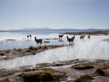 Llamas Standing in a Steaming Hot Lagoon at Dawn  Eduardo Avaroa National Park
