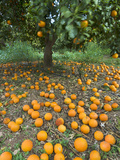 Fallen Oranges in Orange Grove  Cyprus  Europe