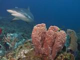 Caribbean Reef Shark (Carcharhinus Perezii) and Giant Barrel Sponge (Xestospongia Muta)  Honduras