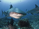 Caribbean Reef Shark (Carcharhinus Perezii) Swimming with Diver  Roatan  Bay Islands  Honduras