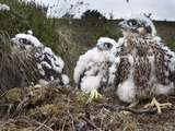 Peregrine Chicks (Falco Peregrinus)  after Being Ringed  Northumberland National Park  England  UK