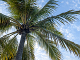 Coconut Tree  Low Angle View  Providenciales  Turks and Caicos Islands  West Indies  Caribbean