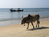 Cattle and Fishing Boat  Benaulim  Goa  India  Asia