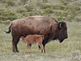 Bison (Bison Bison) Cow Nursing Her Calf  Yellowstone National Park  Wyoming  USA  North America