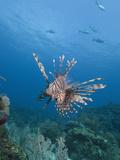 Lionfish (Pterois Volitans)  Roatan  Bay Islands  Honduras  Caribbean  Central America