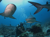 Diver Swimming with Caribbean Reef Shark (Carcharhinus Perezii)  Roatan  Bay Islands  Honduras