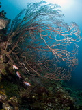 Reef Scene with Sea Fan  St Lucia  West Indies  Caribbean  Central America