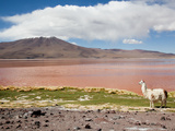 Llama (Lama Glama) with Volcano in Background  Eduardo Avaroa Nat&#39;l Park  Bolivia