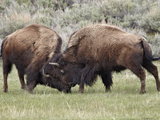 Bison (Bison Bison) Cows Sparring  Yellowstone National Park  Wyoming  USA  North America