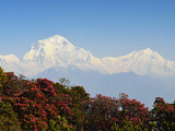 Rhododendron and Dhaulagiri Himal Seen from Poon Hill  Dhawalagiri (Dhaulagiri)  Nepal