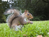 Grey Squirrel (Sciurus Carolinensis)  in City Park  Brandon Park  Bristol  England  UK  Europe