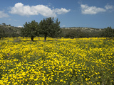 Spring Meadow  Near Limassol  Cyprus  Europe
