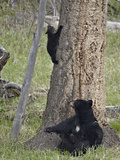Black Bear (Ursus Americanus) Sow and Two Cubs-Of-The-Year  Yellowstone Nat'l Park  Wyoming  USA