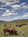 Bison (Bison Bison) Cows Grazing  Yellowstone Nat'l Park  UNESCO World Heritage Site  Wyoming  USA