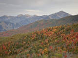 Red and Orange Fall Colors in the Wasatch Mountains  Uinta National Forest  Utah  USA