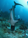 Caribbean Reef Shark (Carcharhinus Perezii) Stuck in a Bucket  Roatan  Bay Islands  Honduras