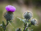 Scottish Thistle Near Dunnottar Castle  Stonehaven  Aberdeenshire  Scotland  United Kingdom  Europe