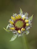 Common Gaillardia (Gaillardia Aristata)  Waterton Lakes Nat'l Park  Alberta  Canada