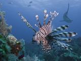 Lionfish (Pterois Volitans)  and Caribbean Reef Shark (Carcharhinus Perezii)  Roatan  Honduras