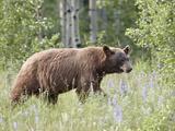 Cinnamon Black Bear (Ursus Americanus) Cub  Waterton Lakes National Park  Alberta  Canada