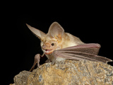 Pallid Bat (Antrozous Pallidus) in Captivity  Hidalgo County  New Mexico  USA  North America
