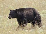 Black Bear (Ursus Americanus)  Waterton Lakes National Park  Alberta  Canada  North America