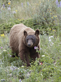 Cinnamon Black Bear (Ursus Americanus) Cub  Waterton Lakes National Park  Alberta  Canada