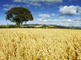 Oat Field  Thorverton  Devon  England  United Kingdom  Europe