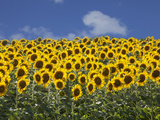 Sunflowers in Tuscany  Italy  Europe