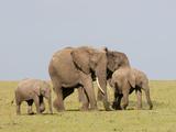 African Elephant (Loxodonta Africana)  Masai Mara  Kenya  East Africa  Africa