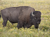 Bison (Bison Bison) Bull Among Yellow Wildflowers  Yellowstone National Park  Wyoming  USA