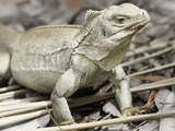 Rock Iguana Endemic to Country  Iguana Island  Turks and Caicos Islands  West Indies