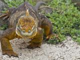 Galapagos Land Iguana (Conolophus Subcristatus)  Galapagos Is  UNESCO World Heritge Site  Ecuador