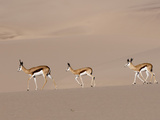 Springbok (Antidorcas Marsupialis) on Sand Dune  Skeleton Coast National Park  Namibia  Africa