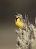 Western Meadowlark (Sturnella Neglecta) Singing  Yellowstone National Park  Wyoming  USA