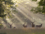 Deer in Morning Mist  Woburn Abbey Park  Woburn  Bedfordshire  England  United Kingdom  Europe