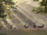 Deer in Morning Mist, Woburn Abbey Park, Woburn, Bedfordshire, England, United Kingdom, Europe Papier Photo par Stuart Black