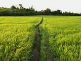 Rice Fields  Polonnaruwa  Sri Lanka  Asia