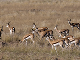 Springbok (Antidorcas Marsupialis)  Huab River Valley  Torra Conservancy  Damaraland  Namibia
