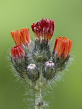 Orange Hawkweed (Fox-And-Cubs) (Pilosella Aurantiaca)  Idaho Panhandle Nat'l Forests  Idaho  USA