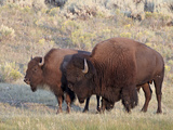 Bison (Bison Bison) Bull and Cow  Yellowstone National Park  Wyoming  USA  North America
