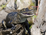 American Alligator (Alligator Mississippiensis)  Everglades  UNESCO World Heritage Site  Florida US