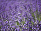 Lavender Field  Lordington Lavender Farm  Lordington  West Sussex  England  United Kingdom  Europe