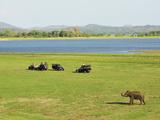 Sri Lankan Elephant (Elephas Maximus Maximus)  Minneriya National Park  Sri Lanka  Asia