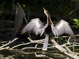 Anhinga (Anhinga Anhinga)  Everglades  UNESCO World Heritage Site  Florida  USA  North America