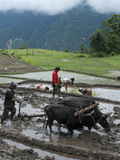Farmers at Work in Rice Paddies  Ghandruk  Pokhara  Annapurna Area  Nepal  Asia
